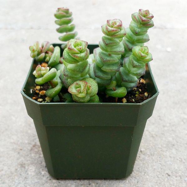 Crassula Rupestris ssp Marnieriana