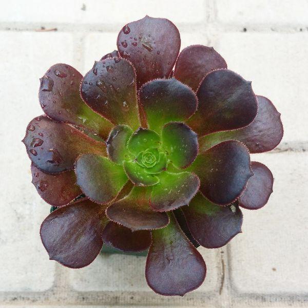 Aeonium arboreum 'Velour'