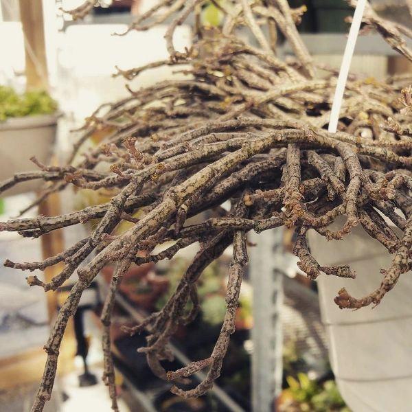 Euphorbia Platyclada