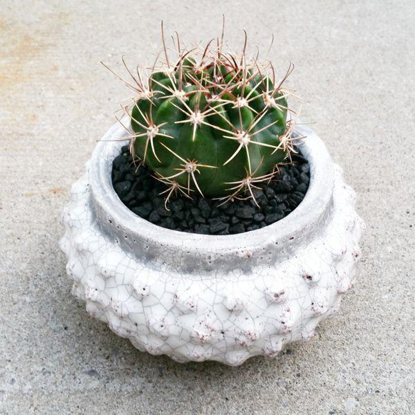 Ferocactus Latispinus Arrangement