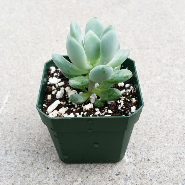 Pachyphytum Clavifolia