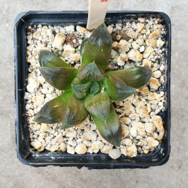 haworthia cv. chocolate