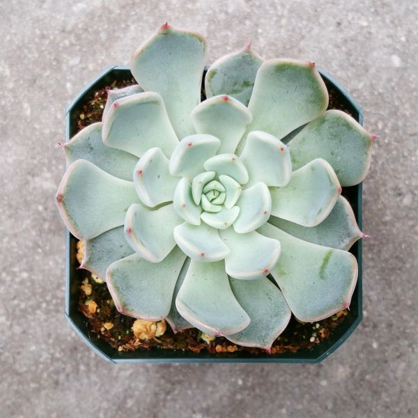 Echeveria Texensis