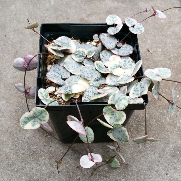 Ceropegia Woodii - Variegated