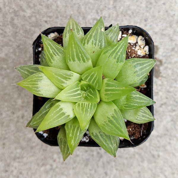 Haworthia Turgida