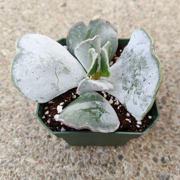 Cotyledon Orbiculata var. Oblonga Undulata - Silver Ruffles