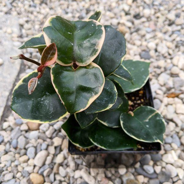 Hoya Carnosa Krimson Queen