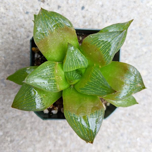 Haworthia Species - 01