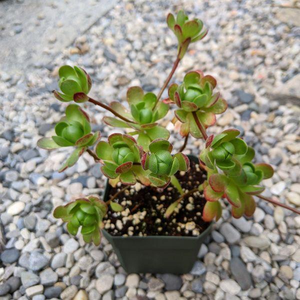 Aeonium Saundersii Adodes