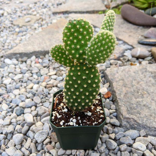 Opuntia Microdasys var. Pallida aka Bunny Ears Cactus