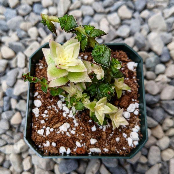 Crassula Corymbulosa Variegated