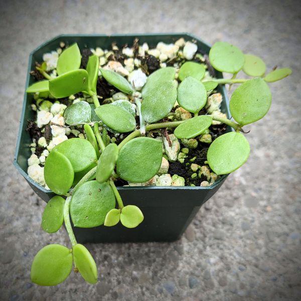 Dischidia Nummularia Species