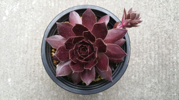 Sempervivum Cranberry