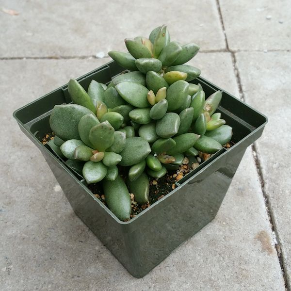 Adromischus Species