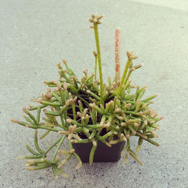 Rhipsalis teres f. prismatica