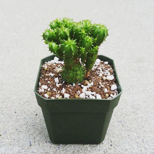 Euphorbia Submammillaris Pfersdorfii