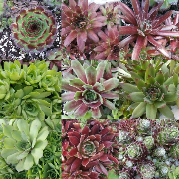 Assorted Sempervivum aka Hens & Chicks