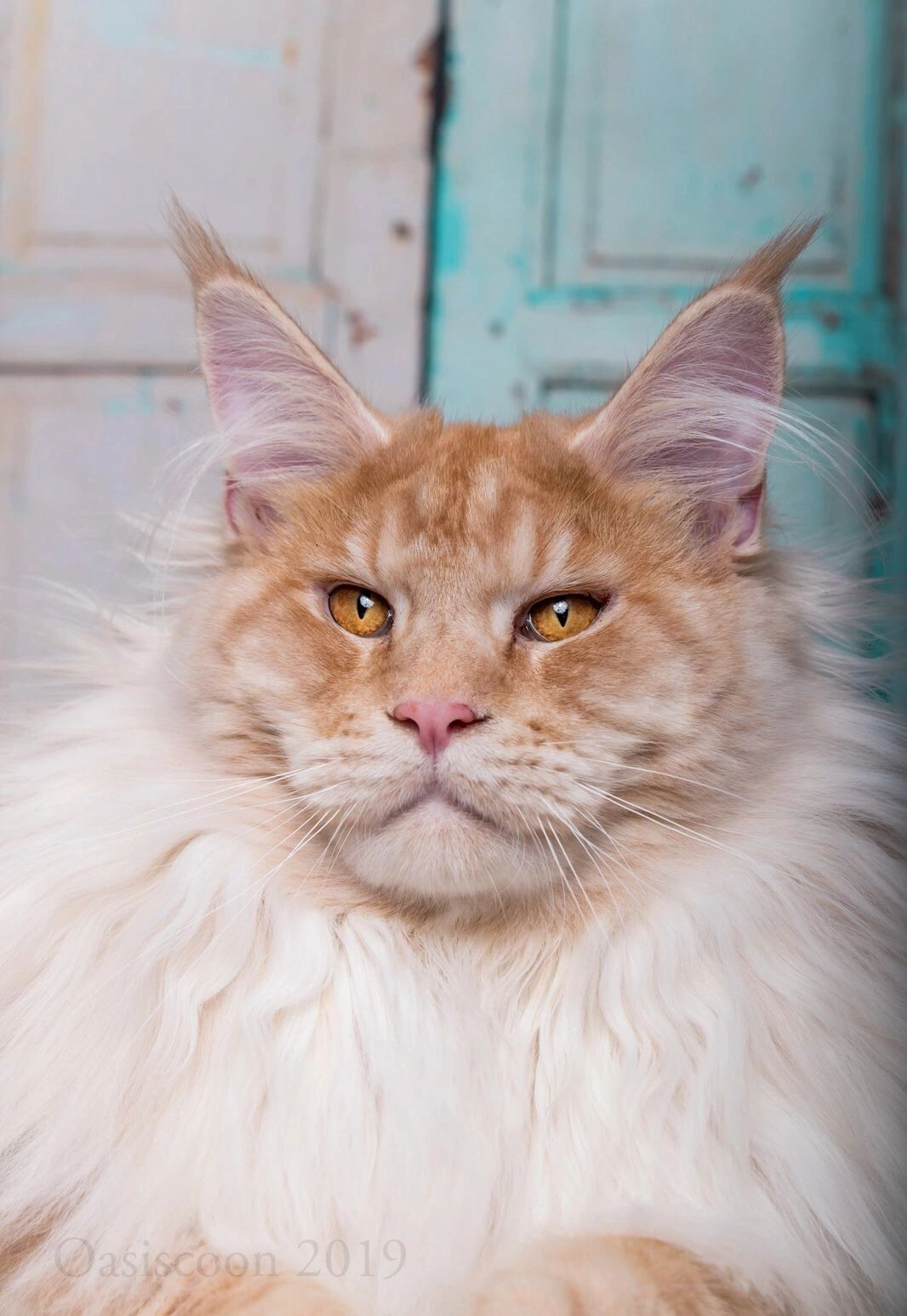 Maine Coon Oasiscoon