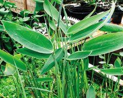 Hardy Canna (Thalia dealbata)