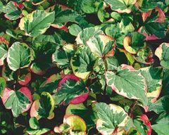 Chameleon Plant Houttuynia cordata
