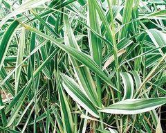 Variegated Giant Reed (Arundo donax variegata)