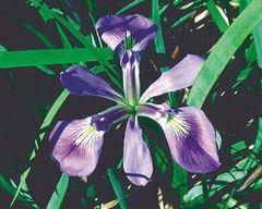 Iris, Blue Flag Iris versicolor
