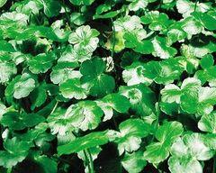Pennywort Hydrocotyle verticillata