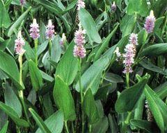 Pickeral Rush, Purple Pontederia cordata