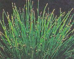 Spike Rush Eleocharis montevidensis