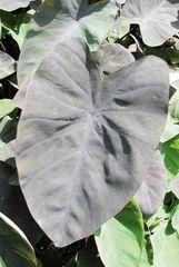 Black Magic Taro (Colocasia esculenta)