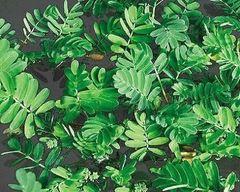 Giant Sensitive Plant Aeschynomene fluitans
