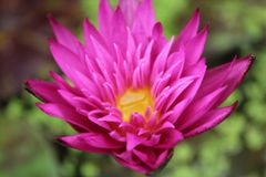 Miami Rose - Deep Pink / Red Tropical Water Lily