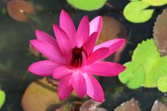Red Cup - Red Night Blooming Tropical Water Lily