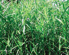 Dwarf Bamboo (Sulichium arundinaceum)