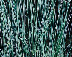 Blue Rush (Juncus glauca)