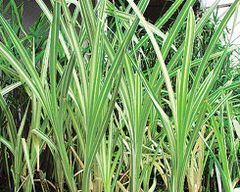 Variegated Cattail (Typha latifolia variegata)