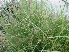 Hardy Umbrella Grass (Cyperus longus)