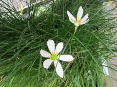 ZEPHYR LILY (Zephyranthes candida)