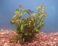 Red Ludwigia (Ludwigia Repens)