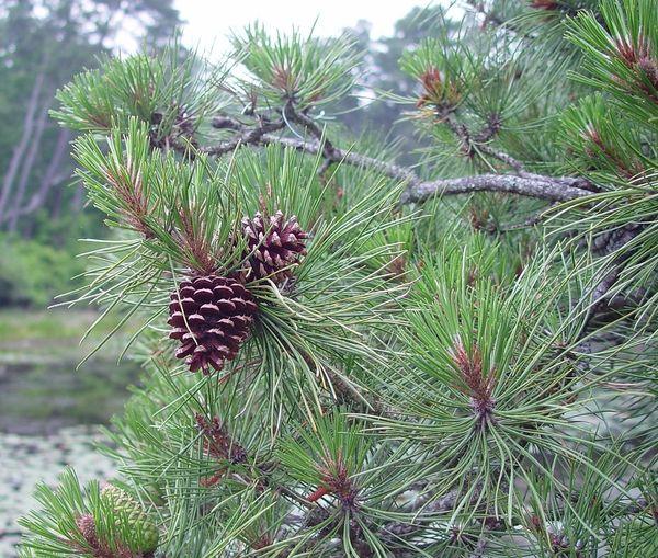 Pinus Rigida Pitch Pine Long Island Native Plant