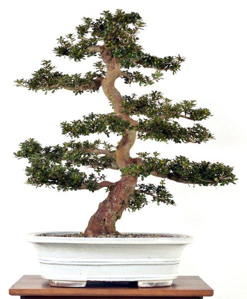 "'Kiusianum' Mountain Azalea' 22"" Tall Bonsai"