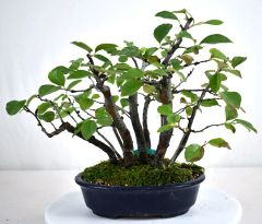 Chinese Quince Forest Imported - 9""