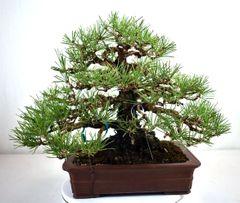 "Japanese Black Pine Import - 13"""