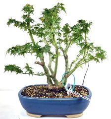 Japanese Maple Kotohime - 13""