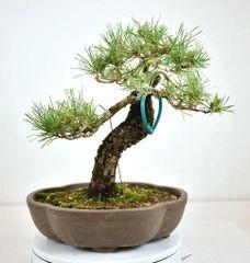 "Japanese Black Pine - 13"""