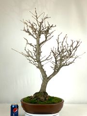 "Ginkgo Bonsai 31"" Tall"