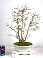 "Trident Maple Clump Bonsai 19"" Tall"