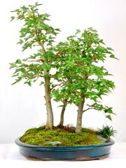 "Trident Maple 3 Tree Bonsai 19"" Tall"