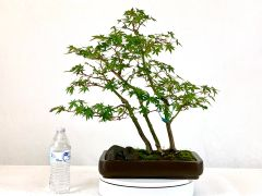 "Japanese Maple 3 Tree Bonsai 16"" Tall"