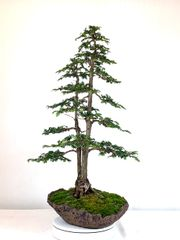 "Hinoki Cypress Bonsai 34"" Tall"